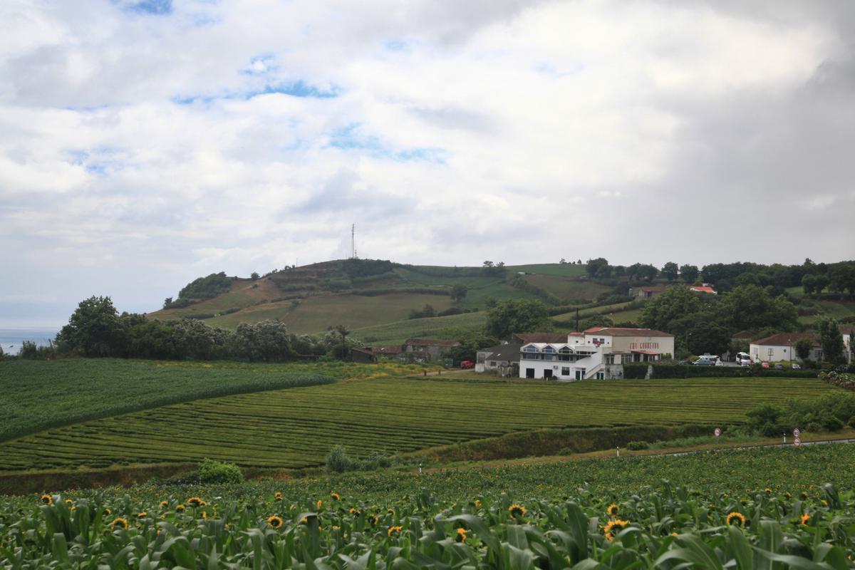 Blick auf die Teeplantage