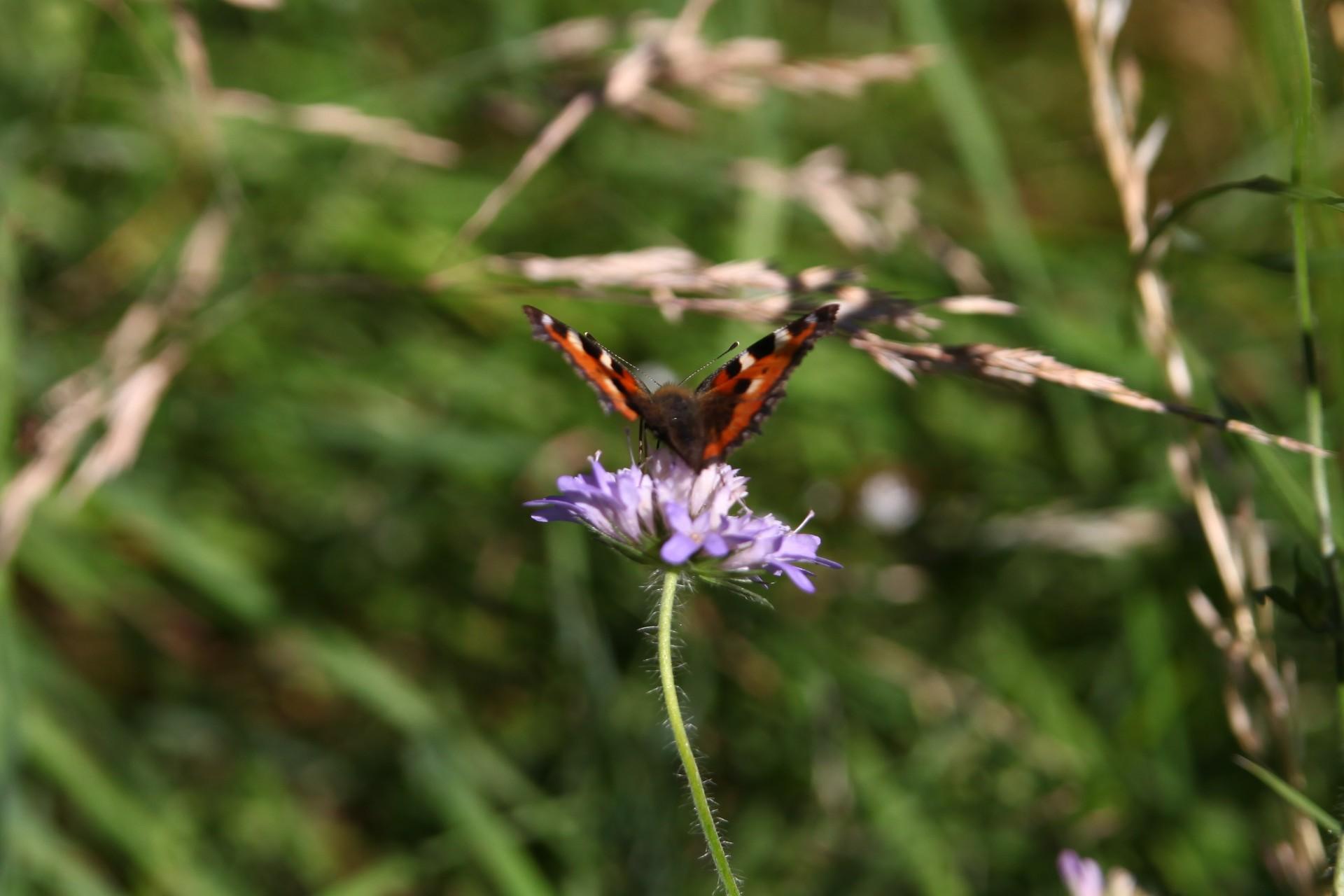 Mittagessen eines Schmetterling